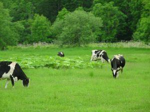 Des vaches de bord de route