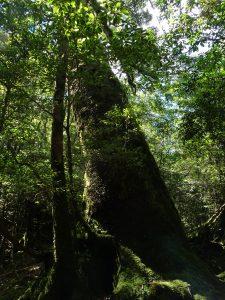 Cèdre massif